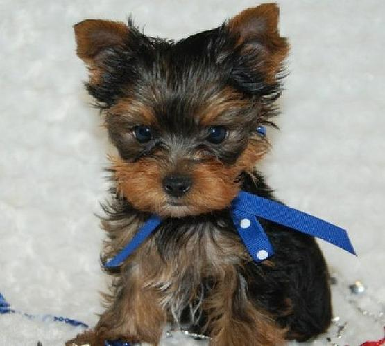 XMASS Tiny CUTE Tea-cup Yorkies Pu.ppies to Good homes, (240)232-5244