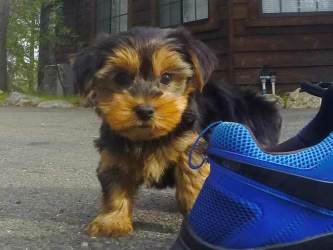 Imperial Yorkie Puppies FREE to Good homes