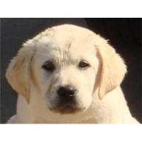 Hatz-Off-Labradors