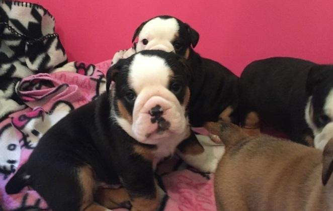!!!Two English Buldoggs Puppiess For Free!!!