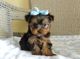 ???Pretty Female and Male Tea Cup Y.O.R.K.I.E puppies??? (747)-529-1670
