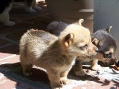 Amazing W.E.L.S.H. C.O.R.G.I Pups Ready now (254) 836-2882