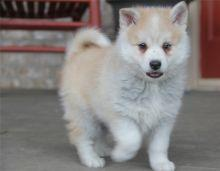 FREE Quality Pomsky Puppies:contact us at(707) 232-7400