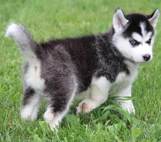 CUTIE S.I.B.E.R.I.A.N H.U.S.K.Y Puppies: contact us at (541) 241 6574