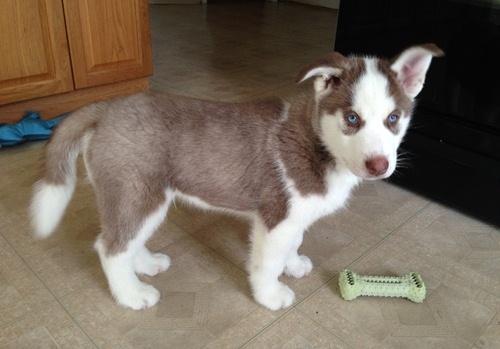 I have 2 CUTE S.i.b.e.r.i.a.n H.u.s.k.y Puppies (469) 333-7625 :???