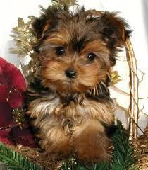BEAUTIFUL Y.O.R.K.I.E.S Puppies: contact us at (915) 257-4937 any time