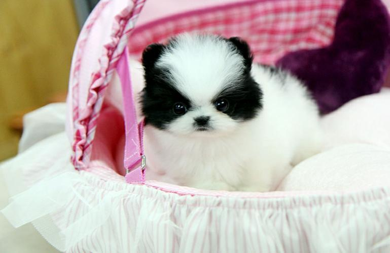 Baby face Pomeranian Puppies available for re-homing (614) 859-0647