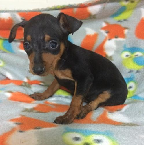 Sweetheart Miniature Pinscher Puppy for Sale Text Via (803) 574-1939