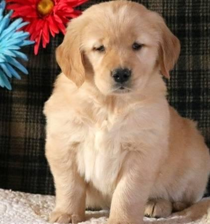FREE Beautiful Go.l.den Retriever Pu.pp.ies Available 3238134125