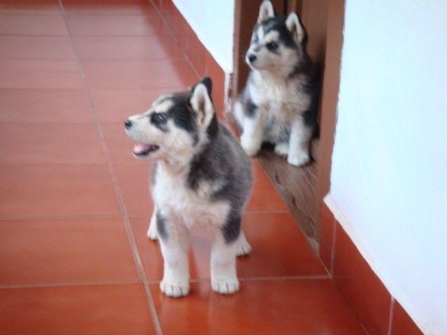 Beautiful S.I.B.E.R.I.A.N .H.U.S.K.Y Puppies