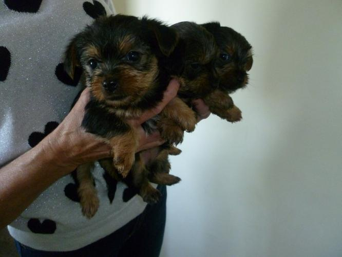 ?Y.o.R.k.i.e P.upp.i.e.s For F.r.e.e, Ready Now 13 Weeks Old
