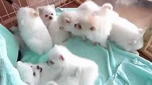 !!Male and Female Pomeranianss Puppies Available (915) 257-4937