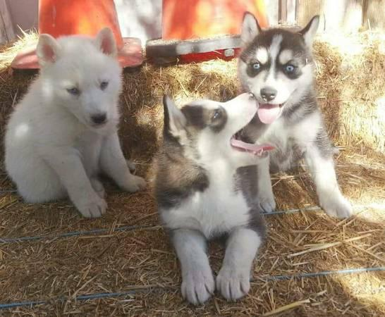 Adorable Siberian Husky Puppies For Re homing.
