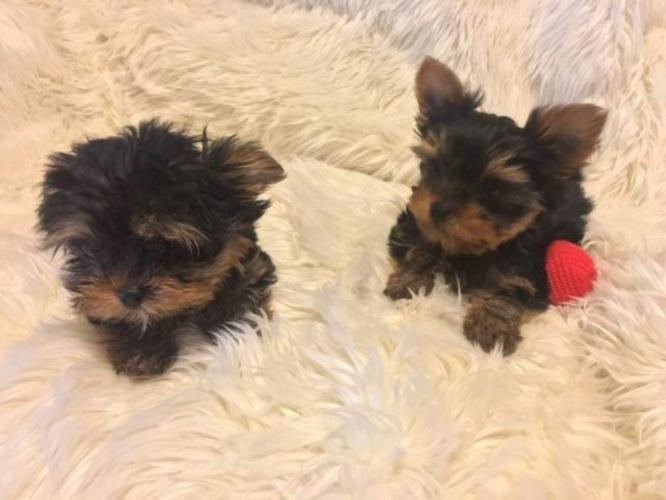 * # # ??? Quality Teacup Yorkies Puppies:....???** (404) 829-4591