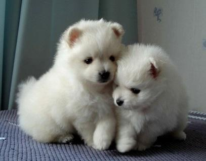 Affectionate M/F P.o.m.e.r.a.n.i.a.n Puppies!!!Sms 701 409-0063