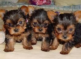 Pretty male and female Tea Cup Y.O.R.K.I.E PUPPIES for a good home(302)583-3421