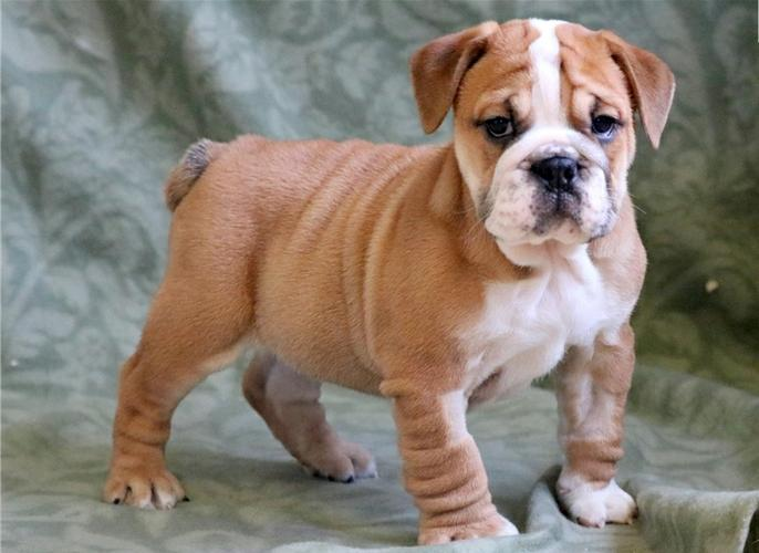 Free English Bulldoggs Ppuppies Available