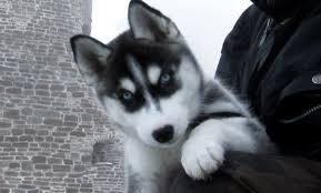 FREE CUTE S.I.B.E.R.I.A.N .H.U.S.K.Y Puppies