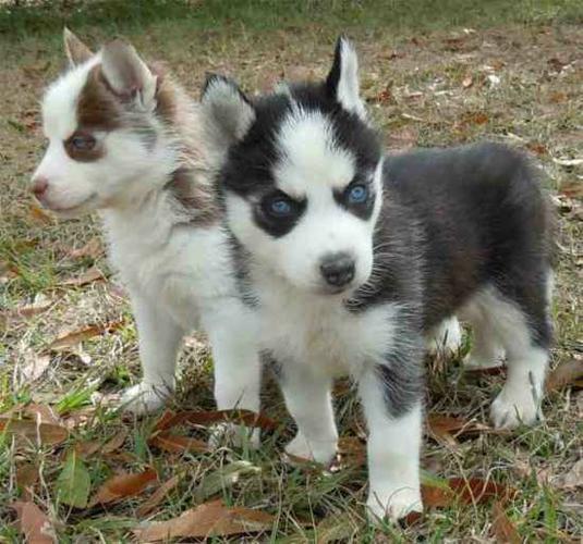 CUTE S.I.B.E.R.I.A.N .H.U.S.K.Y Puppies