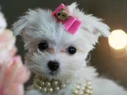 beautiful and Cute t.e.a.c.u.p. m.a.l.t.e.s.e  P.U.P.P.I.E.S (703) 659 4354