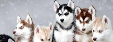 .... We have  beautiful and Cute H.U.S.K.Y   Puppie.s