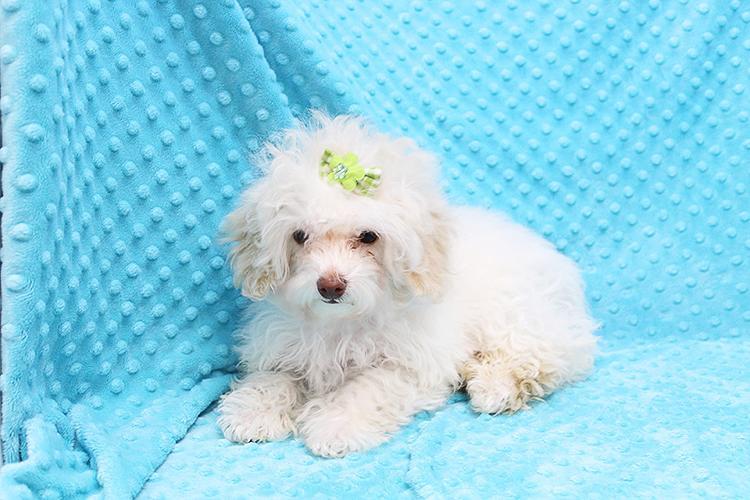 Beautiful White Maltipoo Puppy!!