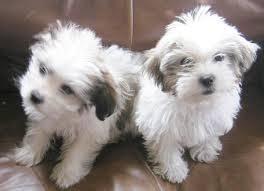 ** Shih Tzu Puppies;762-585-6044