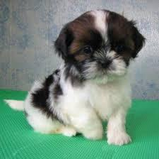 ** Shih Tzu Puppies;762-585-6044