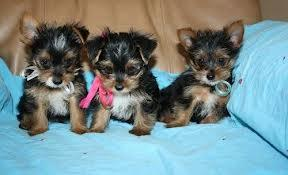 BEAUTIFUL Y.O.R.K.I.E.S Puppies: contact us at(360) 249 7199