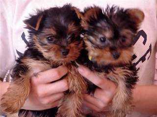 Pretty Female and Male Tea Cup Y.O.R.K.I.E puppies (216) 551-9966