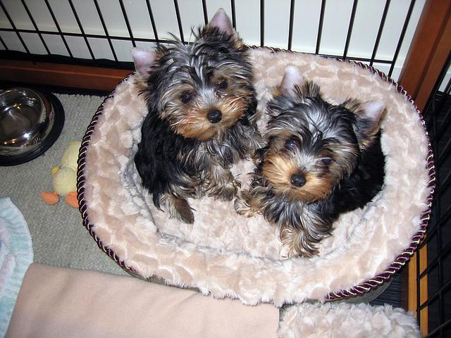 Fantastic Cute Female and Male Y.o.r.k.i.e available