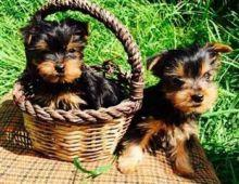 Awesome Charming Female and Male Y.o.r.k.i.e puppies