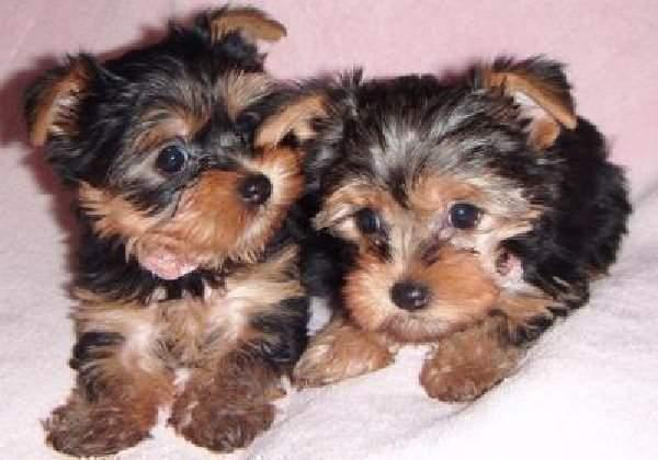 Awesome Female and Male Y.o.r.k.i.e puppies