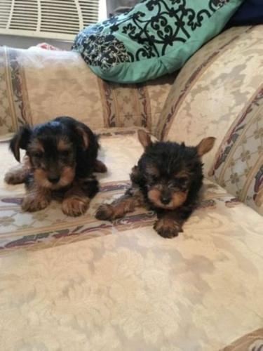 * # # ??? Quality Teacup Yorkies Puppies:....???** (404) 829-4591