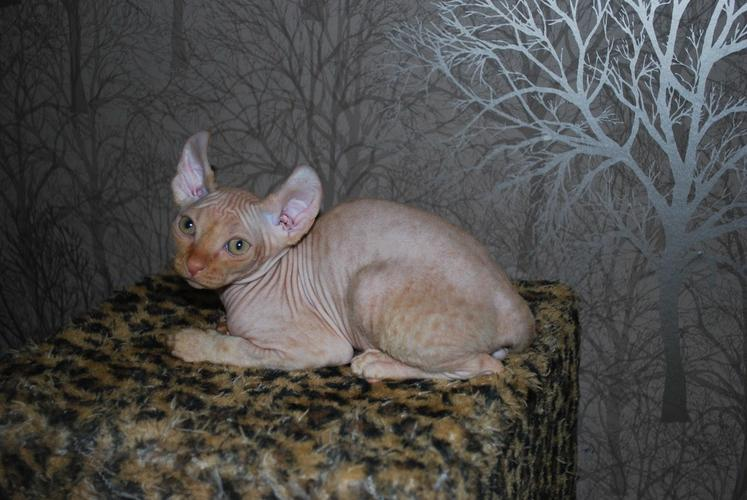 Beautiful Red Tabby Elf Male Kitten Ready To Go!!!