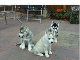FREE Quality siberians huskys Puppies:contact us at(408) 620-7101