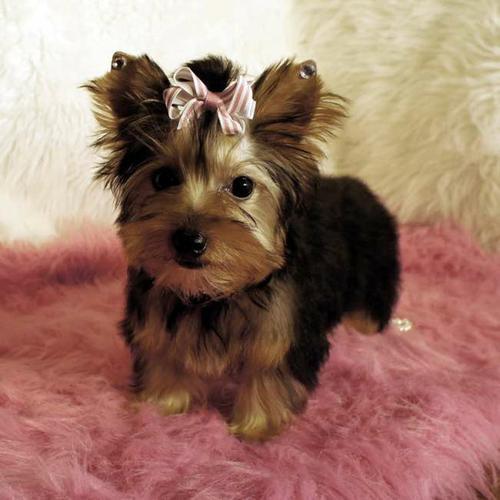 Cute Y.o.r.k.s.h.i.r.e T.e.r.r.i.e.r puppies (435) 248-2607