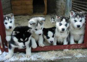 Fee CUTE S.I.B.E.R.I.A.N H.U.S.K.Y Pups**(302)4003724 ***