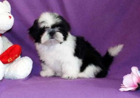 ??? free Quality Shih tzu Puppies:???(779) 232-9753