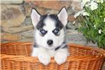 ??? FREE Blue Eyes male and female Siberi.a.n hus.k.y Pu.ppies ) Need Hom ???(707) 840-8141