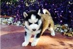 and details.(707) 840-8141   ??? FREE Blue Eyes male and female Siberi.a.n hus.k.y Pu.ppies ) Need H