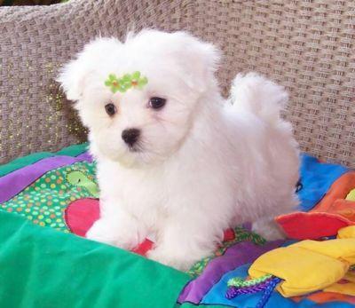 Cute M.a.l.t.e.s.e Puppie.s