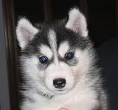 !!!!Quality siberians huskys Puppies:!!!contact us at (980) 404-9844