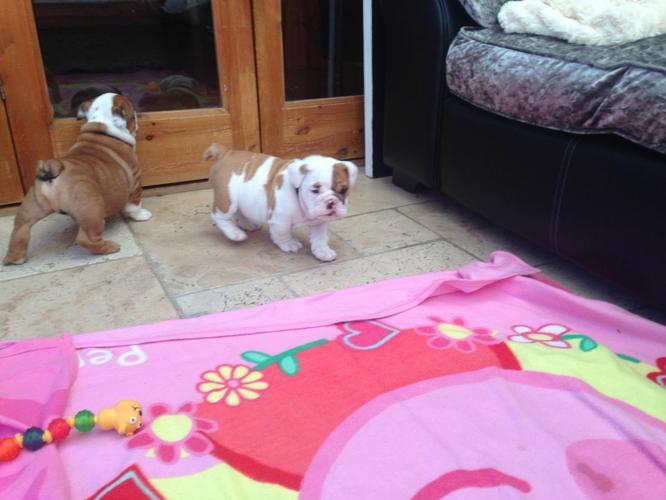 Awesome wrinkled English Bulldog