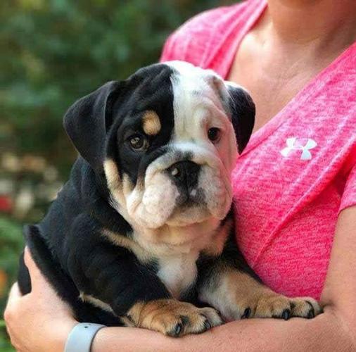 Home Raised English Bulldog  Available