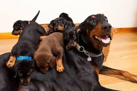 Beautiful  doberman puppies for sale.