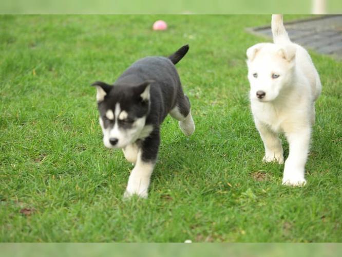 CUTIE S.I.B.E.R.I.A.N H.U.S.K.Y Puppies: contact us at 214 945 4315