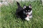 loving and friendly pomsky need a home