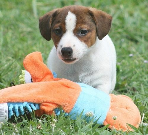 Our beautiful Jack Russel puppies are ready to get a great new home.