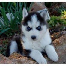 CUTE S.i.b.e.r.i.a.n. H.u.s.k.y Puppies:.